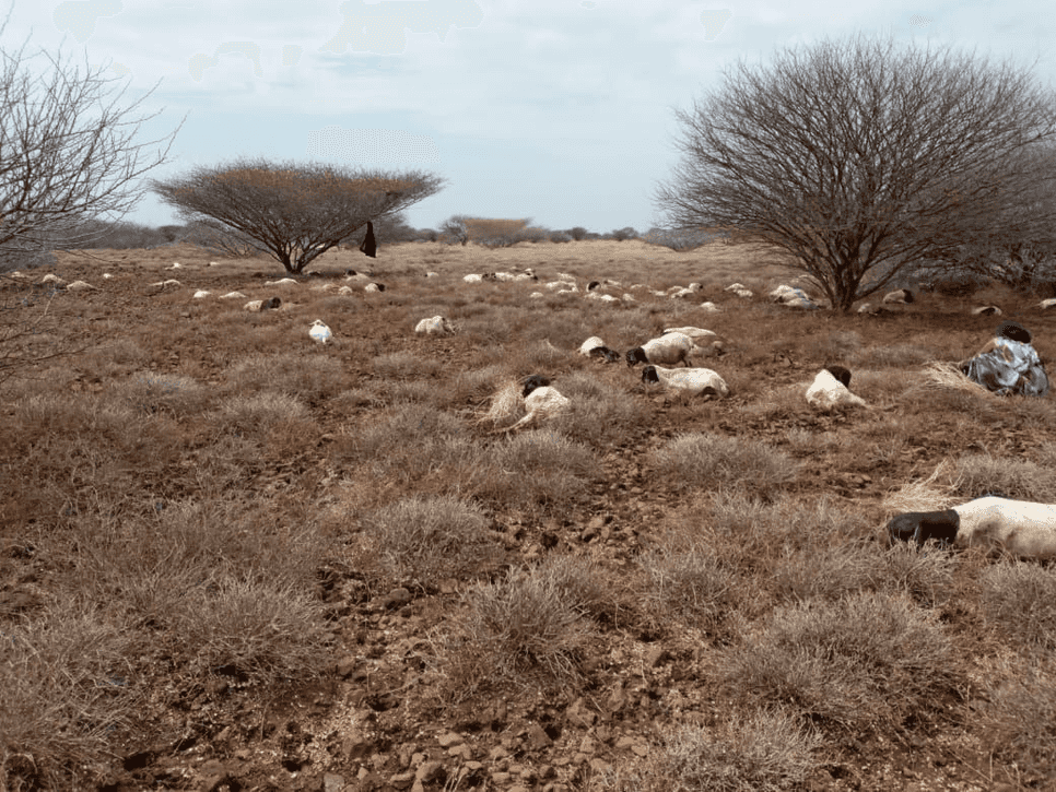 Death of livestock in Yibo (Dukana)
